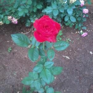 Aldi Rose Bush_n